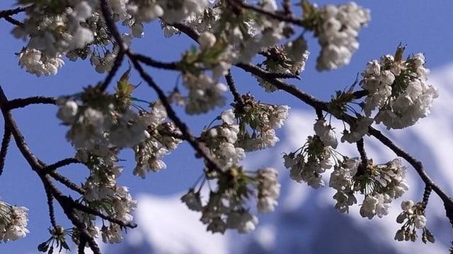 Vom FRost angegriffene Kirschenblüten. Im Hintergrund hat es Schnee.