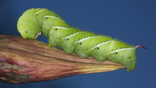 Eine grassgrüne Raupe sitzt auf eine Pflanze.