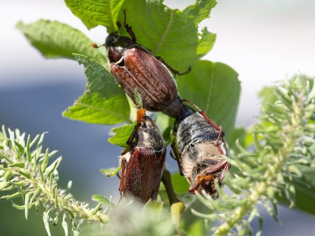 Maikäfer fressen Blätter von einem Baum