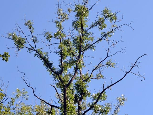 Detailaufnahme von kahlen Zweigen einer Esche, die vom ostasiatischen Schädling befallen ist.