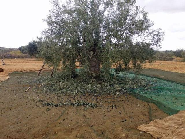 Olivenbaum mit abgefallenen Blättern.