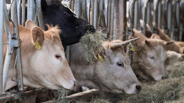 Kühe strecken ihre Hälse durch ein Metallgitter, um an den Futtertrog mit Heu zu gelangen.