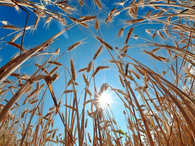 Blauer Himmel und Sonne hinter Getreide.
