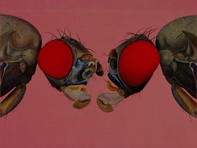 Zwei Köpfe der Taufliege «Mutante quasimodo»