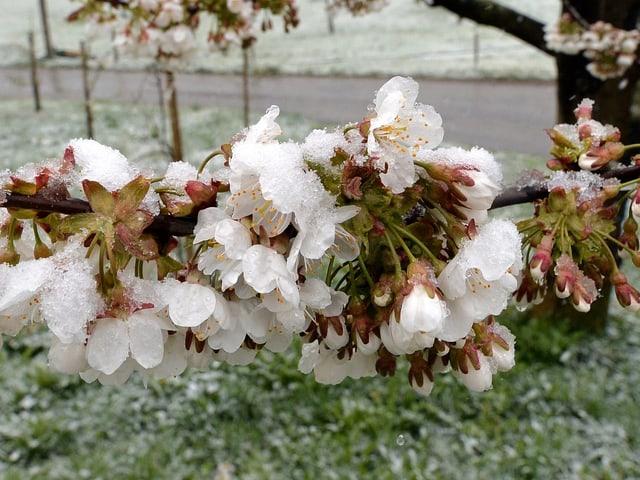 Schnee auf Kirsch- oder Apfelbaumblüten