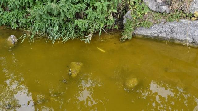 Das Wasser des Bielbachs ist grünlich verfärbt.