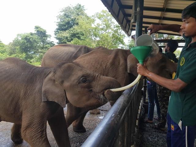 Grössere Elefanten werden mit Schlauch und Trichter gefüttert.