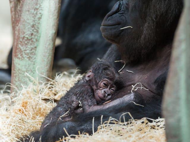 Die Gorilla-Mutter mit ihrem Baby.