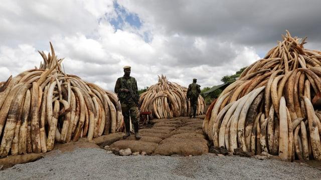 Elfenbein in Kenia.