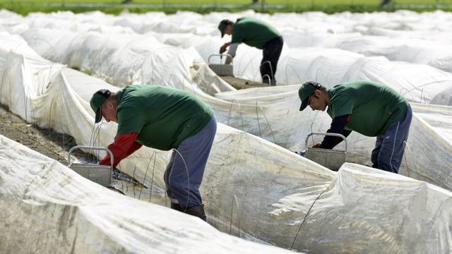Erntehelfer in grünen Shirts stechen zwischen Plastikreihen Spargeln.