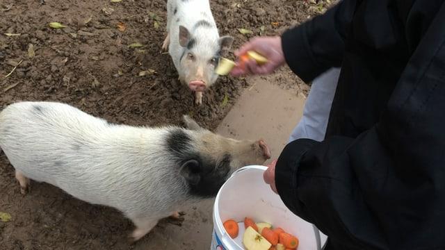 Zwei kleine Schweinchen werden gefüttert