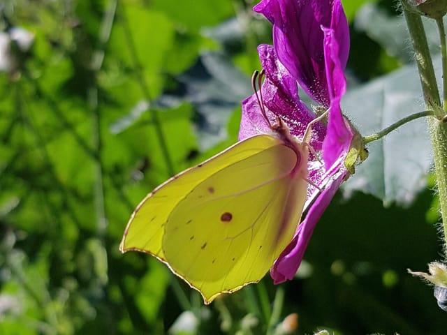 Zitronenfalter als Schmetterling