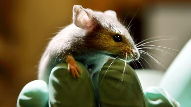 Maus auf Forschungshandschuh