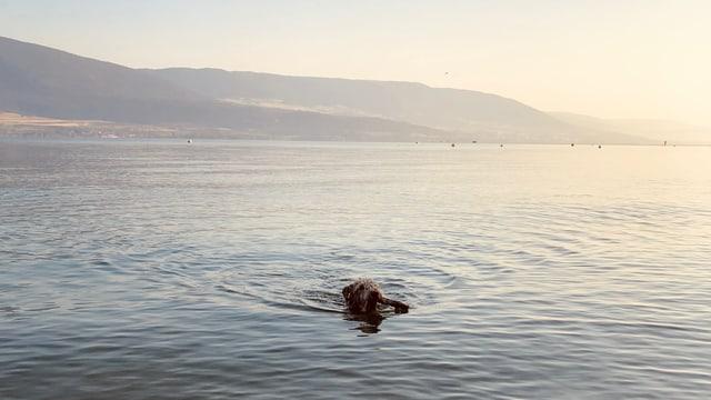Hund schwimmt im Neuenburgersee