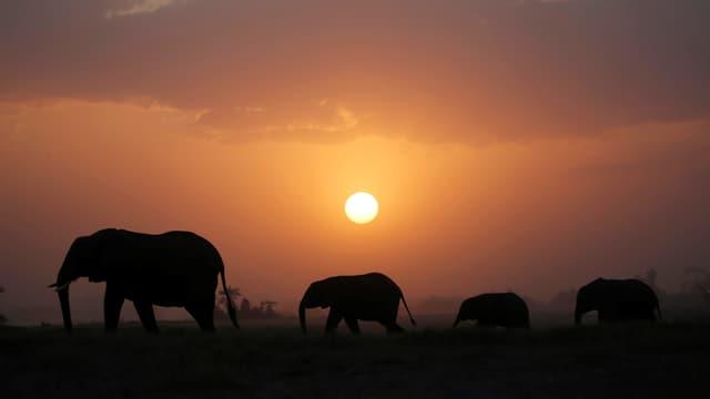 Elefanten im Licht der untergehenden Sonne.