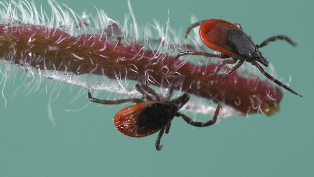 Zwei Zecken-Weibchen lauern auf einem Gänseblümchen auf das nächste Opfer.