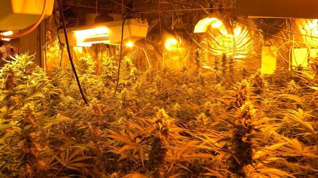 Hanfpflanzen unter künstlicher Beleuchtung.