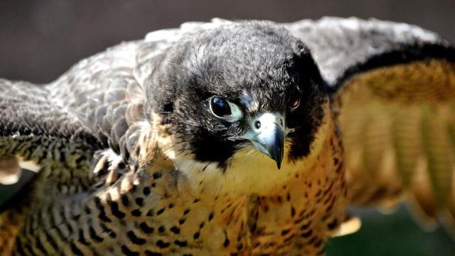 Der Autor verschmilzt sprachlich mit dem Greifvogel.