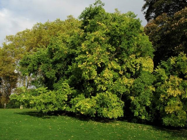 Buschiger Baum mit viel Grün in einem Park