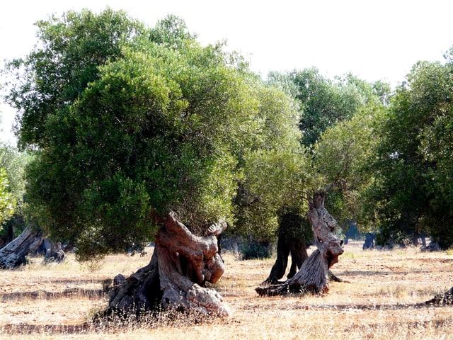 Auf einer trockenen Wiese stehen Olivenbäume mit grünen Blättern und knorrigen Stämmen.