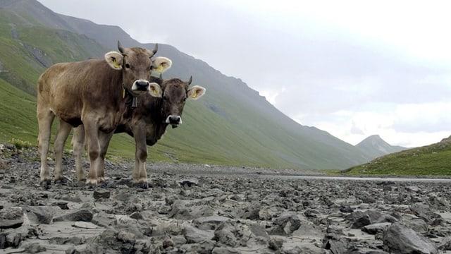 Zwei Kühe stehen in einerm ausgetrockneten Flussbett.