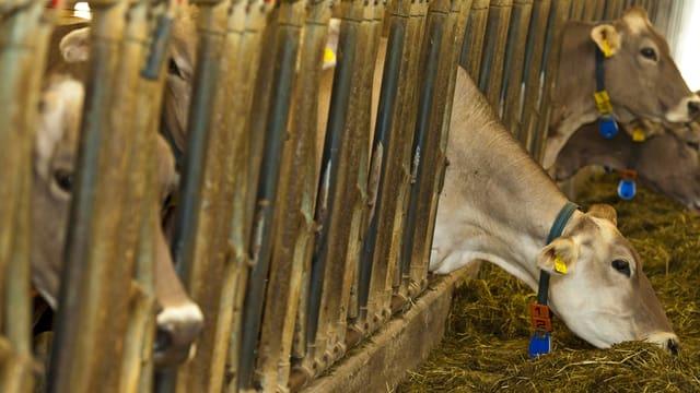 Rinder in einem Stall.