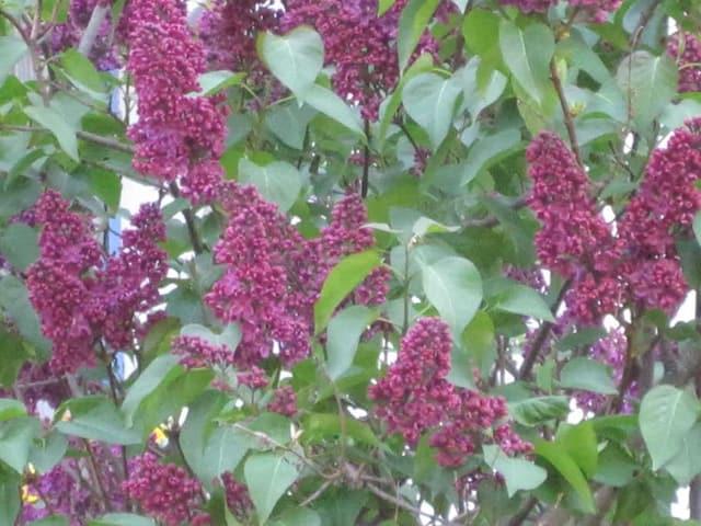 Flurs violettas