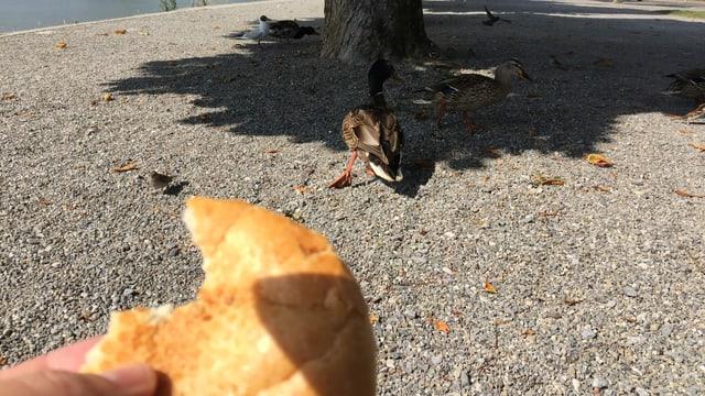 Hand hält Brot, im Hintergrund Enten.