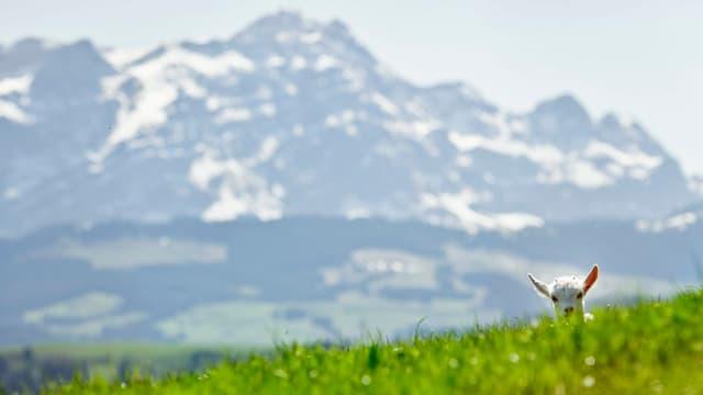 Im Hintergrund der Säntis, im Vordergrund eine Ziege.