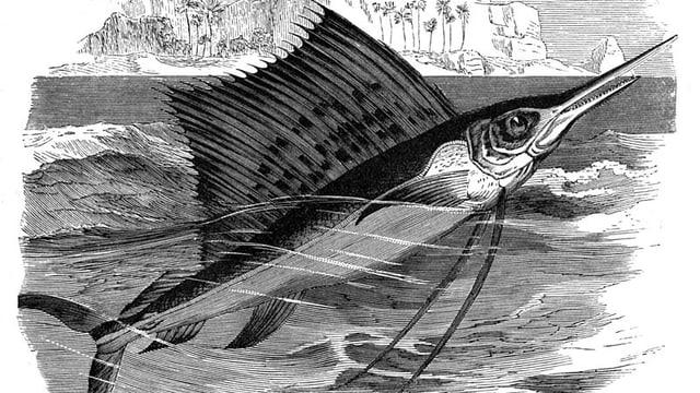 Illustration eines Fächerfischs eines unbekannten Zeichners aus dem Jahr 1893.