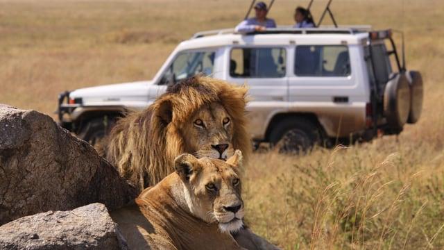 Zwei Löwen ruhen hinter einem Felsen im Serengeti-Nationalpark in Tansania.