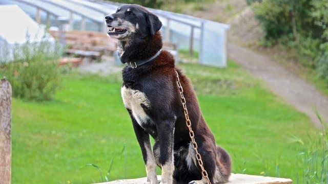 Russischer Schlittenhund schaut der Sache skeptisch entgegen.