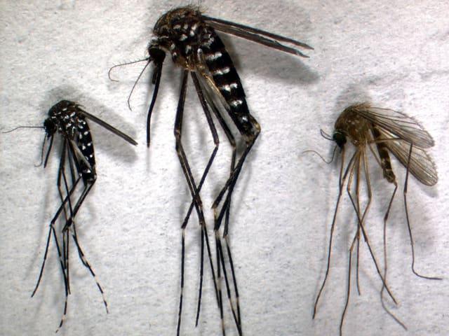 Drei Mücken, links und in der Mitte schwar mit weissen Streifen, rechts eine heimische Stechmücke.