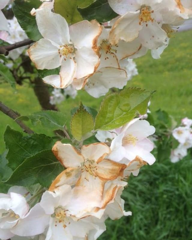 Der Frostschaden an der Apfelblüte ist an den braunen Blütenblättern deutlich zu erkennen.