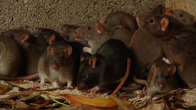 Video «Tiere, die Geschichte schrieben: Krankheiten (5/6)» abspielen