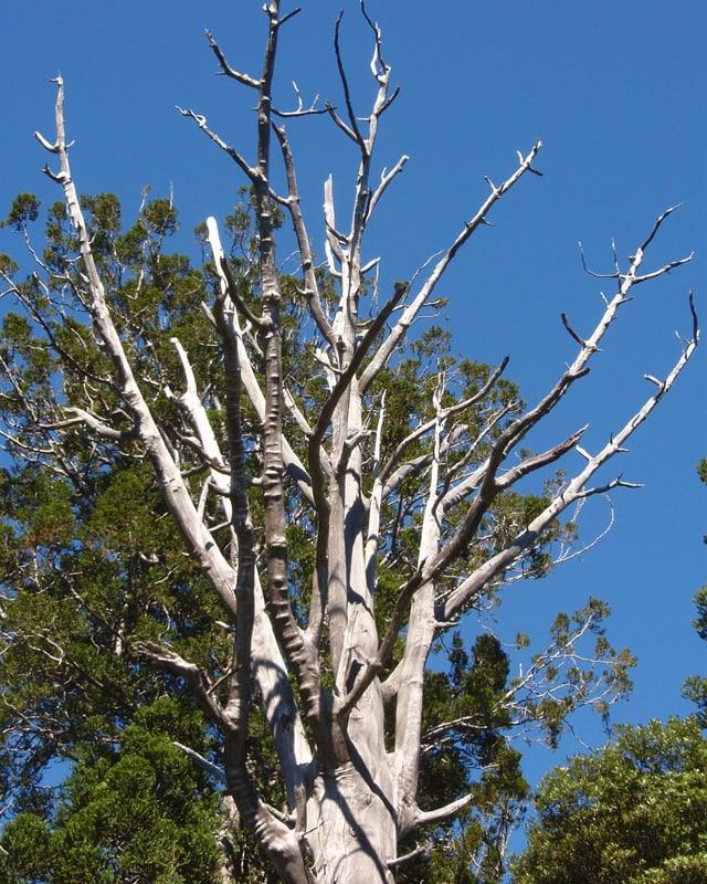 Ein riesiger toter Baum.