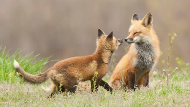 Ein junger Fuchs mit seinem Muttertier auf einer grünen Wiese.