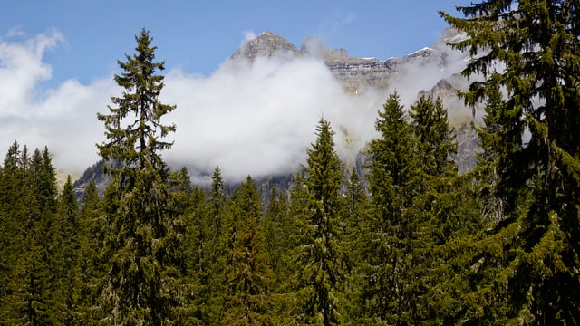 Fichtenwald vor Bergkulisse.