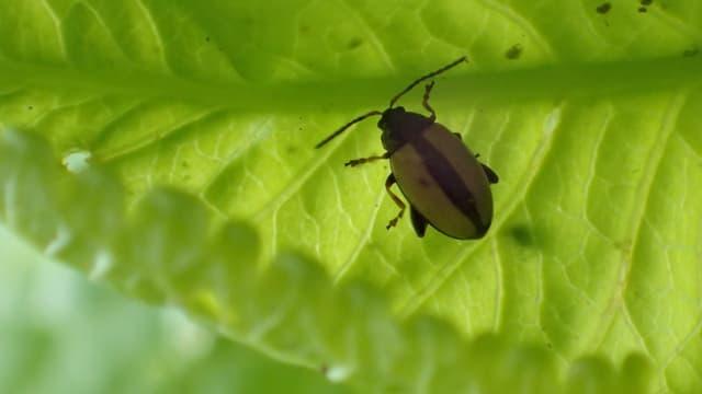 Kleiner Käfer von oben, mit braunen Flügeln und einem schwarzen Streifen in der Mitte