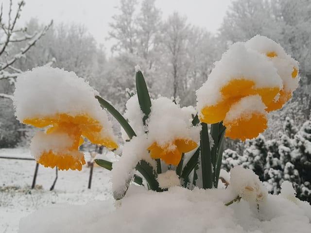 Osterglocken im Schnee.