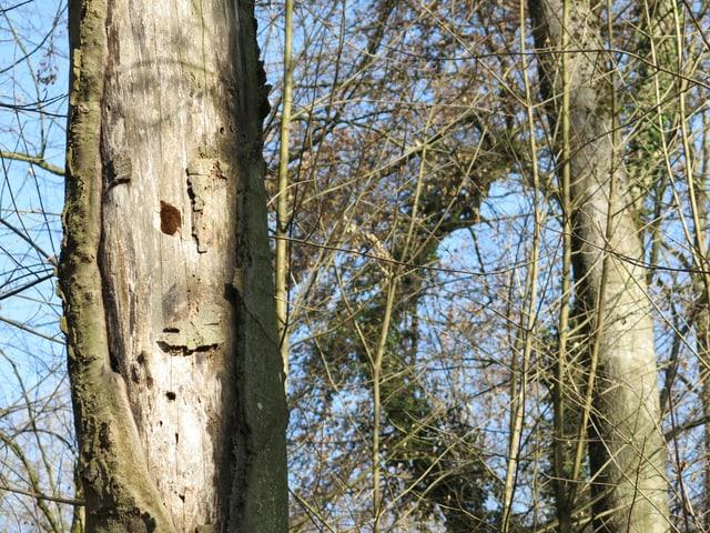 Baumstamm mit Schädlingslöchern