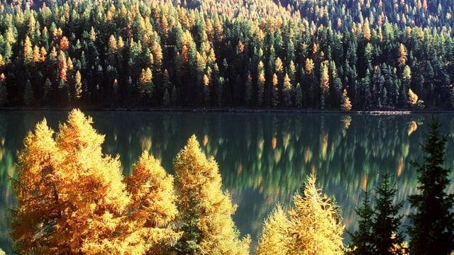 Lärchenwald am Silsersee im Engadin