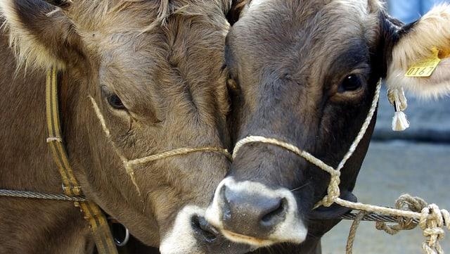 Zwei Köpfe von Rindern in Grossaufnahme