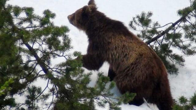 Video «Kein Platz für Bären?» abspielen