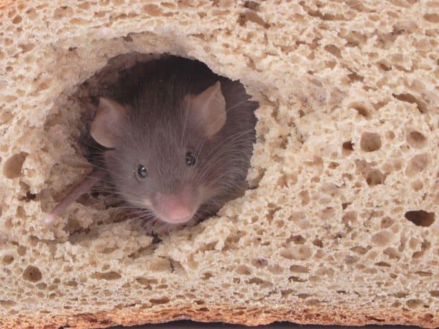 Kleine Maus frisst sich durch Brotlaib