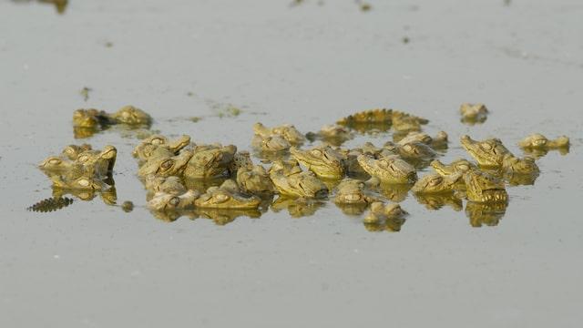 Junge Krokodilkaimane