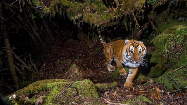 Tiger im Unterholz des Mekong in Kambodscha.