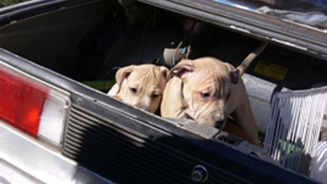 Zwei Hundewelpen in einem Kofferraum