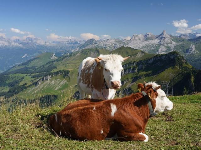 Kühe auf dem Fronalpstock