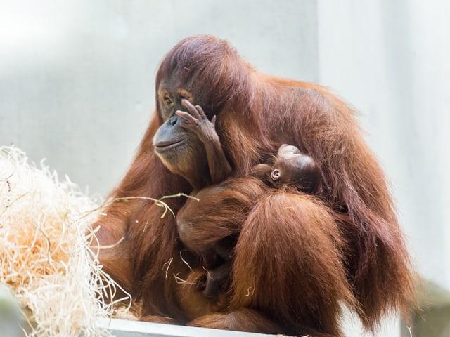 Das Orang-Utan-Baby bei ihrer Mutter